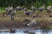 1st Nov 2015 -  Pink Footed Geese (being photobombed by a Greylag)