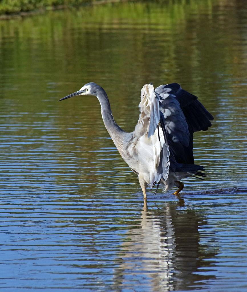 White faced heron lands by maureenpp