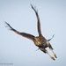 Hungry hawk by mccarth1