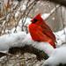 A Cushion of Snow by essiesue