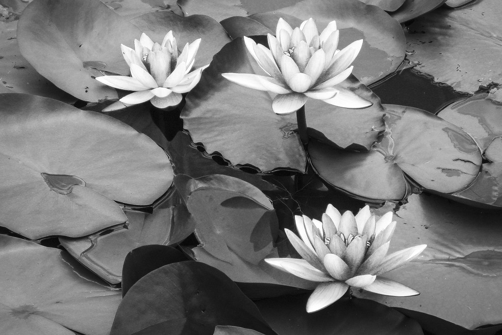 Water lilies by jeneurell