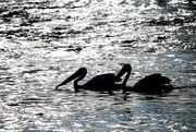 12th Jan 2016 - Pelicans in silhouette
