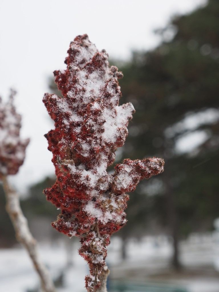 Snow on Sumac by selkie