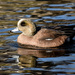 Male American Wigeon by novab
