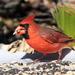 cardinal_67:365 by gaylewood