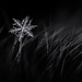 Snowflake in the Grasslands by taffy