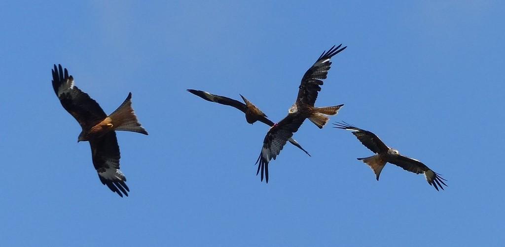 Red Kites  by susiemc