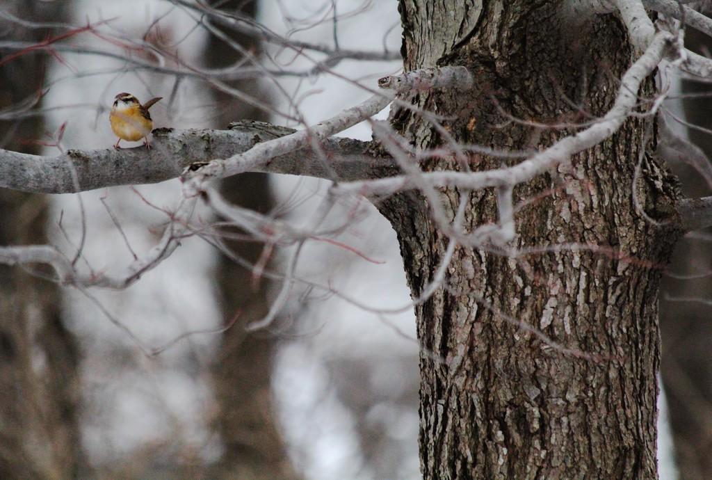Wren in the Maple by mzzhope