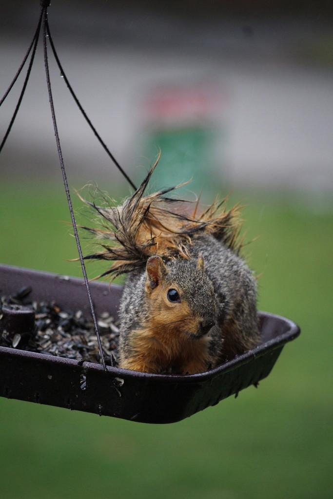 Very wet squirrel............ by essiesue