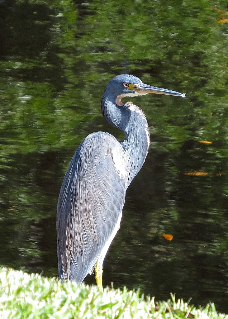 Tri-Colored Heron (?) by rob257