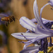 busy bee and agapanthus by maree_sanderson