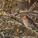 Another Purple Finch by skipt07