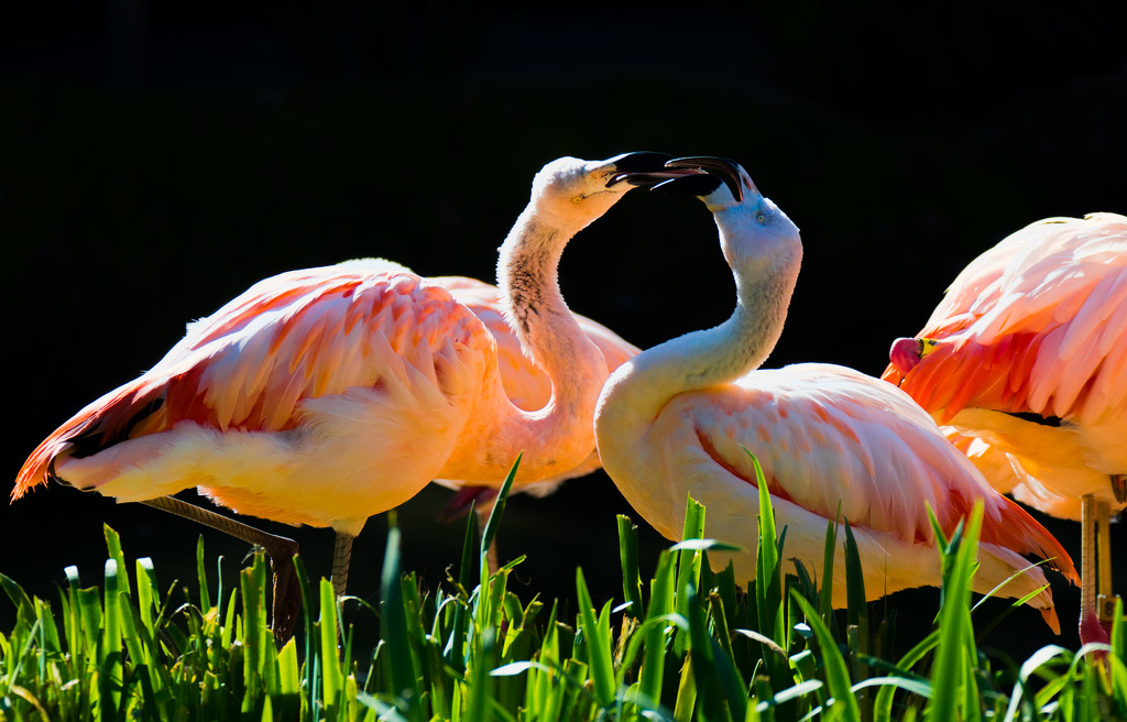 Flamingo Fight! by stray_shooter