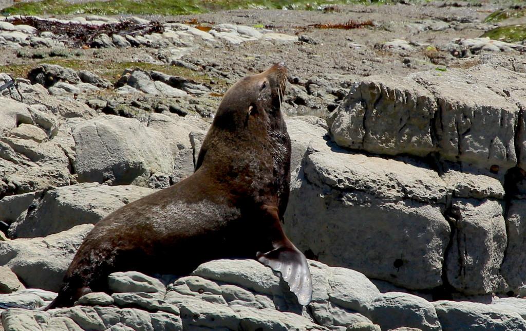 The seal king by kiwinanna