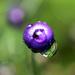 Purple Berry closeup