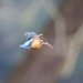 Female Kingfisher hovering ready to fish. by padlock
