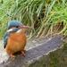 Kingfisher, female just waiting. by padlock