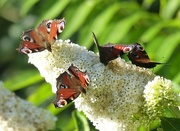 13th Sep 2015 - Peacock Butterflies on White Buddleia