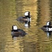 A trio of hooded mergansers.