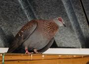 18th Jan 2016 - Pigeon