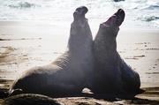 18th Jan 2016 - Male Elephant Seals