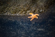 18th Jan 2016 - Little Sea Star