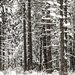 Snow Trees by tosee