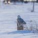 snowy owl by aecasey
