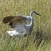 Sandhill Crane on Nest?