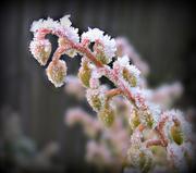 21st Jan 2016 - frosty pieris 2