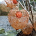Chinese lanterns  by shirleybankfarm
