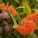 Flowering gum by golftragic