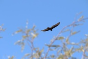 22nd Jan 2016 - turkey vulture