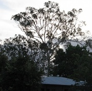 27th Nov 2010 - We are to lose our 37 year old Gum Tree on Monday :(