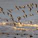 oystercatchers by callymazoo