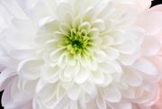 21st Jan 2009 - Flower