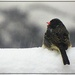 Frosty the Junco by olivetreeann