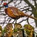 Cock Pheasant by carolmw