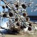 Frozen Crepe Myrtle by homeschoolmom