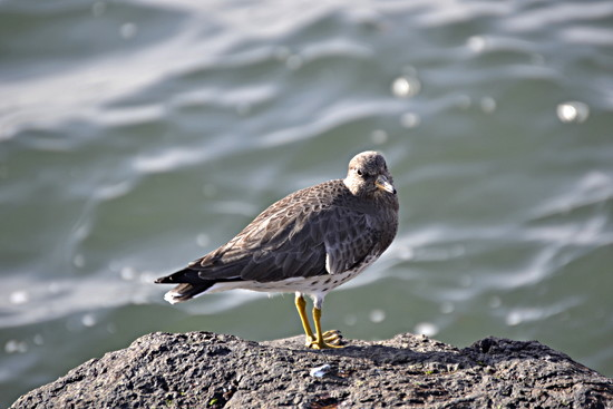 Surfbird not Killdeer by stephomy