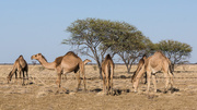 15th Jan 2016 - Camels in the outback