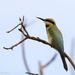 Rainbow bee-eater by flyrobin