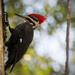 Pileated Woodpecker by rickster549