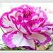 Carnation   by beryl