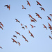 galahs take off...not all of them co-ordinated by maree_sanderson