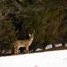Deer in neighbor's yard by randystreat