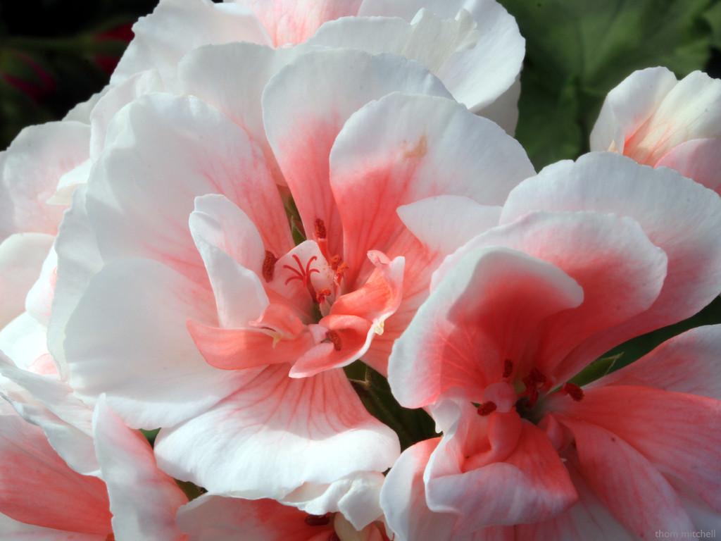 Common geranium by rhoing