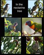 27th Jan 2016 - In the nectarine tree