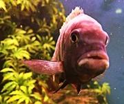 27th Jan 2016 - Fish Lips