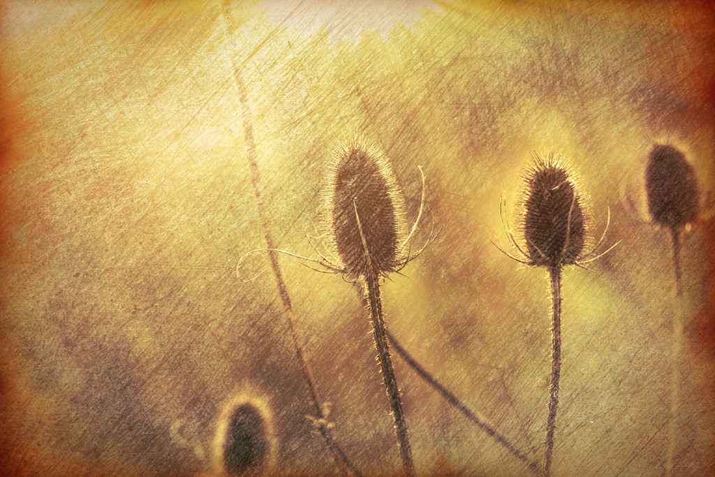 2016 01 26 - Textured Teasels by pamknowler